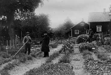 Örtagården Dals Rostock 1917.