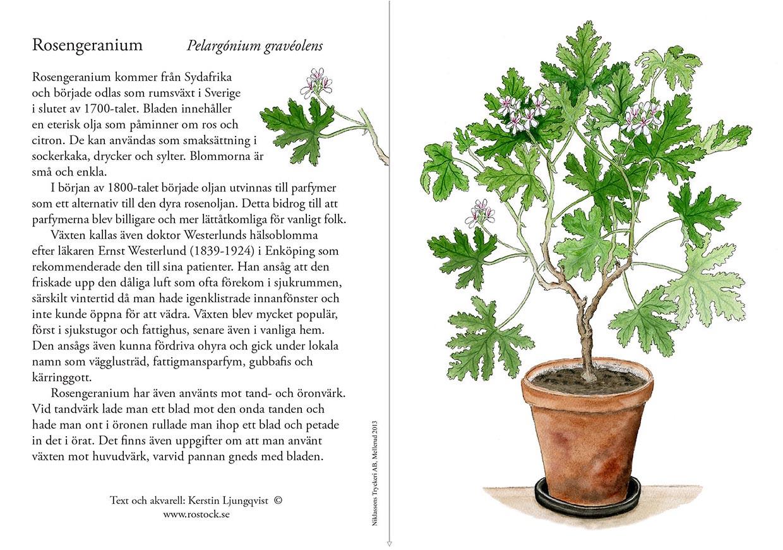 Rosengeranium